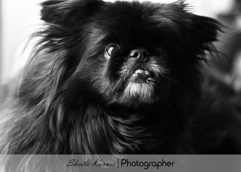 Gizmo - Pekingese - Black and White