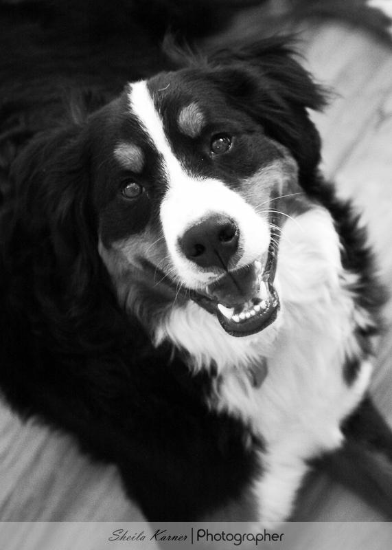 Chloe - Bernese Mountain Dog - Black and White