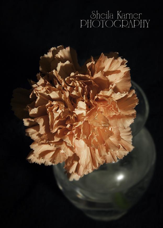 Carnation - One Light