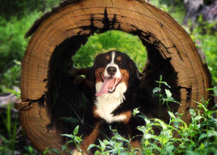 Dog in a Log | Denver Area Pet Photography