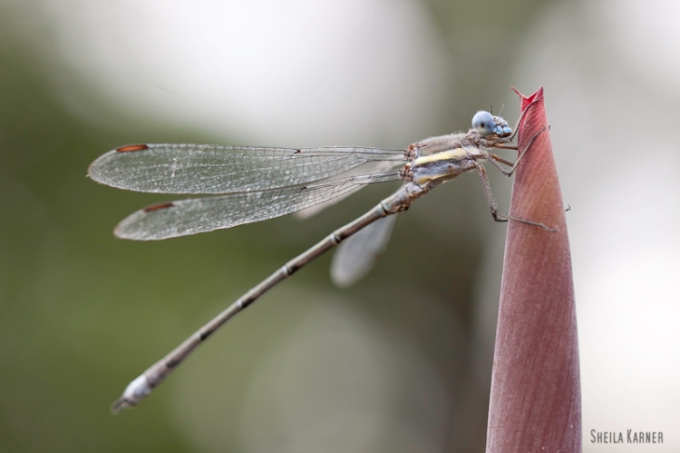 Dragonfly | Sheila Karner Photography