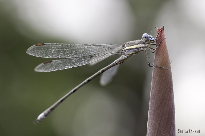 Dragonfly | Sheila Karner Photography