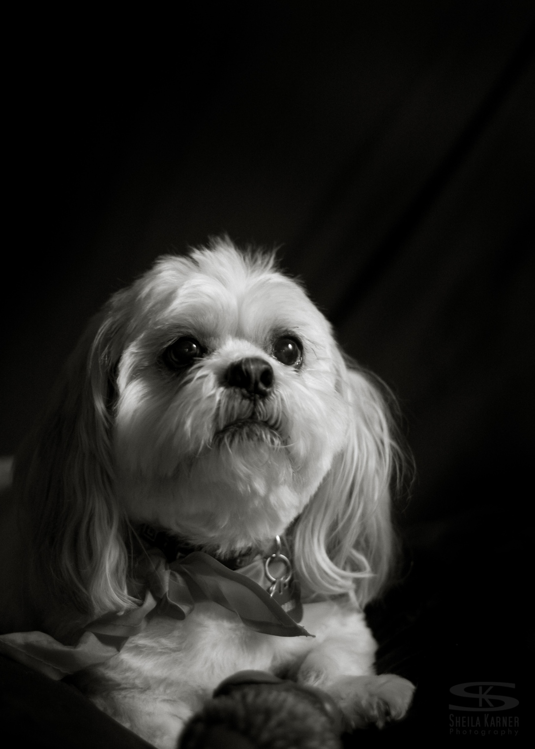 pet photography, dog, black and white