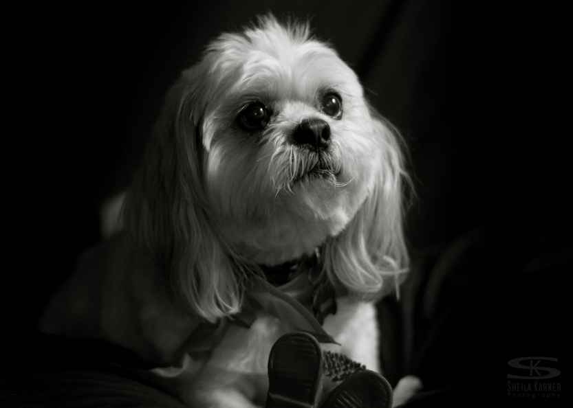 dog, pet photography, black and white
