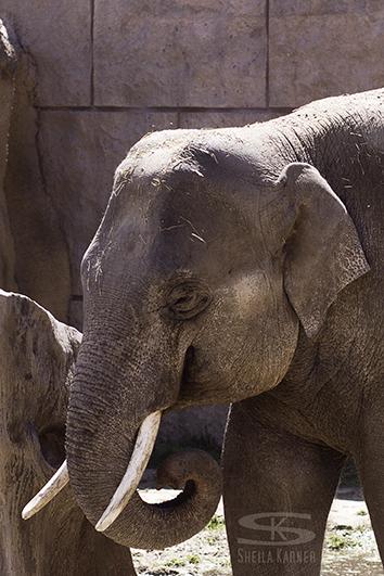 Elephant at the Denver Zoo | Sheila Karner Photography