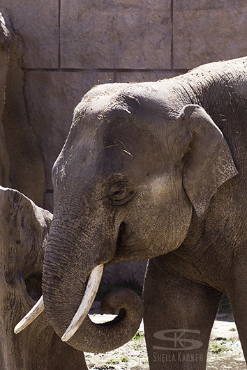 Elephant at the Denver Zoo | Sheila Karner Photography