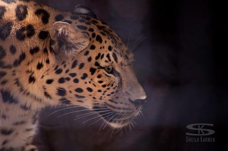 Leopard at the Denver Zoo | Sheila Karner Photography