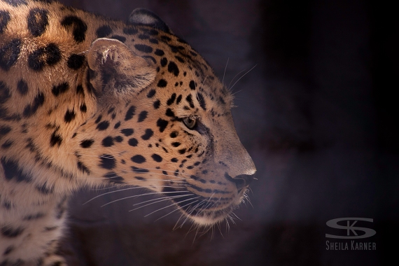 Leopard at the Denver Zoo | Sheila Karner Photography