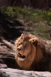 Lion at Denver Zoo | Sheila Karner Photography