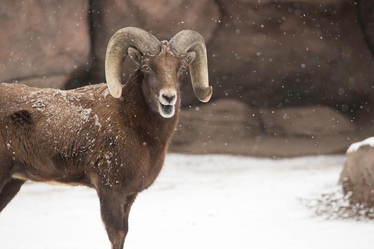 Big Horn Sheep at the Denver Zoo | Sheila Karner Photography
