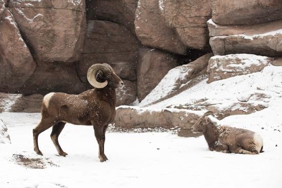 Big Horn Sheep at the Denver Zoo   Sheila Karner Photography